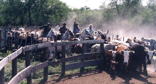 Denuncian el incremento de robo de ganado