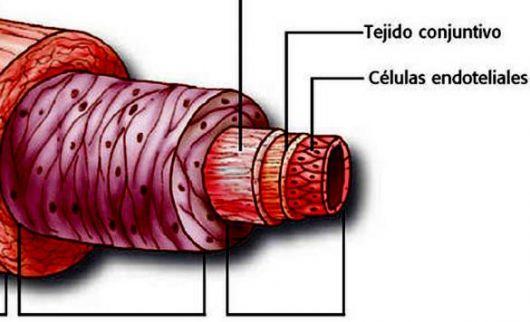 El cerebro de las arterias, guardaespaldas del corazón