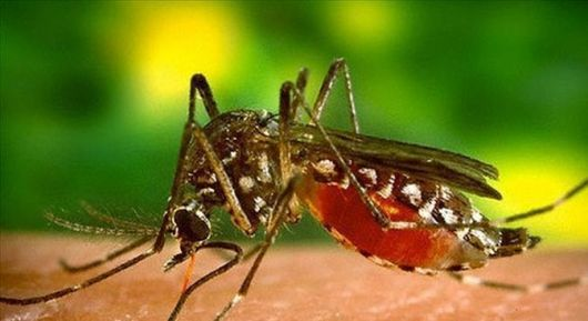Comprueban que el mosquito que transmite chikungunya y dengue elimina un hongo